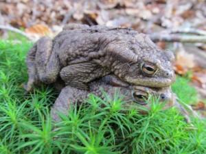 Erdkröten auf der Wanderung